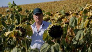 Фермер Віктор Чабаненко про високоврожайний гібрид «Саксон» компанії «Elite Select»